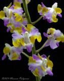 Doritaenopsis Chew Tiek San 'Stones River' HCC/AOS