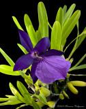 Miltonia spectabilis var moreliana 'MAX' AM/AOS
