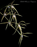 Encyclia rhynchophora
