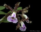 Cattleya schilleriana 'Southern Charm' AM/AOS