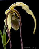 Phragmipedium Fiddlesticks 'Fricka' AM/AOS