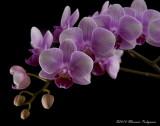 Doritaenopsis Beauty Sheena 'Lan-Lan' HCC/AOS