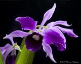 Cattleya purpurata 'Memoria Thomas Netzsche' HCC/AOS