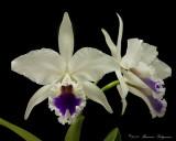 Cattleya lobata 'Canaima' AM/AOS
