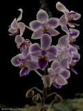 Phalaenopsis Connie Moody 'Gands' HCC/AOS