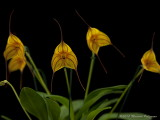 Masdevallia [unnamed cross] 'Winding Road' AM/AOS