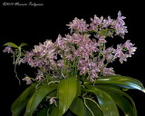 Phalaenopsis hieroglyphica 'Mahvelous' CCE/AOS