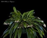 Bulbophyllum guttulatum 'Mello Spirit' CCM/AOS