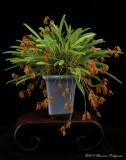 Pleurothallis lanceola 'Mary Morrell'  CCM/AOS
