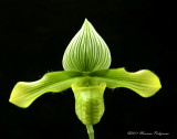 Paphiopedilum venustum forma album 'Barbara's Surprise' AM/AOS