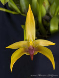 Bulb Frank Smith 'Maureen's 1st' HCC/AOS
