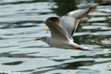 Gull (DSC_6171)