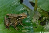 Frog (DSC_0026)