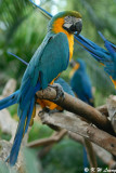 Blue and Yellow Macaw 05
