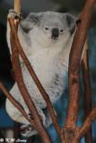 Koala (DSC_4463)