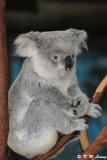 Koala (DSC_4467)