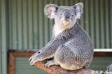 Koala (DSC_3545)