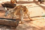 Kangaroo (DSC_3595)