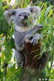 Koala (DSC_3656))