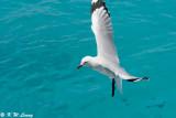 Gull (DSC_4239)