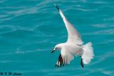 Gull (DSC_4250)