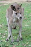 Kangaroo (DSC_4468)