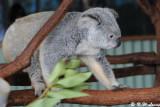 Koala (DSC_4464)