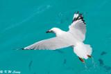 Gull (DSC_4240)