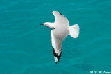 Gull (DSC_4236)