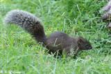 Squirrel (DSC_0281)
