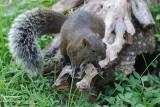 Squirrel (DSC_078