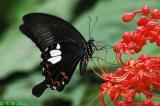 Papilio helenus (玉斑鳳蝶)