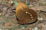 Amathusiinae (環蝶)