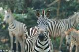 Zebra DSC_6262