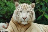 White Tiger 02
