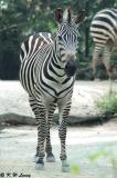Zebra DSC_6263