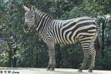 Zebra DSC_6266