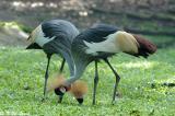 Crowned Crane 02