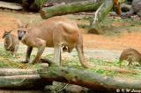 Kangaroo DSC_6376