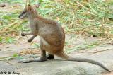 Kangaroo DSC_6384