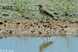 Chinese Pond Heron 07