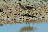 Chinese Pond Heron 08