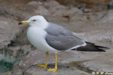 Gull (DSC_7970)