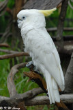 Yellow-Crested Cockatoo DSC_7924