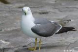 Gull (DSC_7964)