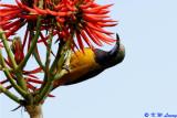 Orange-bellied Leafbird 04