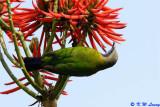 Orange-bellied Leafbird 05