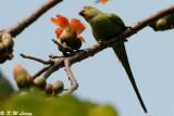 Rose-ringed Parakeet DSC_0658