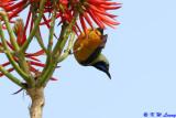 Orange-bellied Leafbird 03