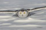 SnowyOwl080216_101016_4_1000.jpg